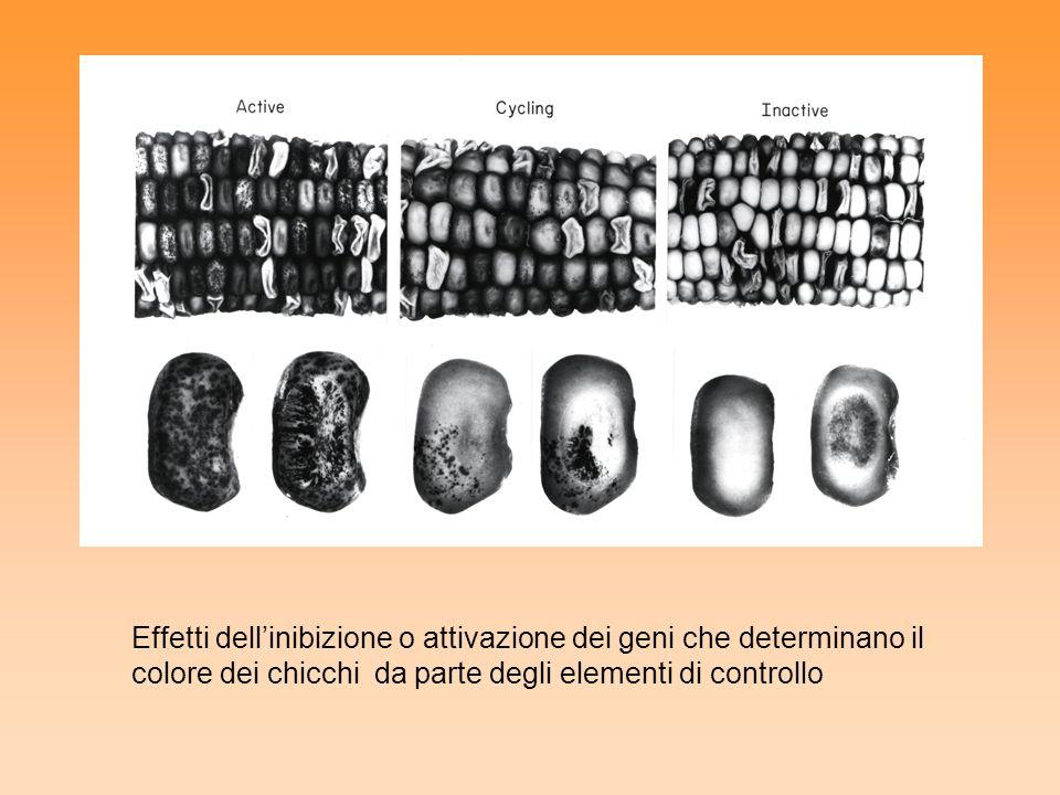 Effetti dellinibizione o attivazione dei geni che determinano il colore dei chicchi da parte degli elementi di controllo