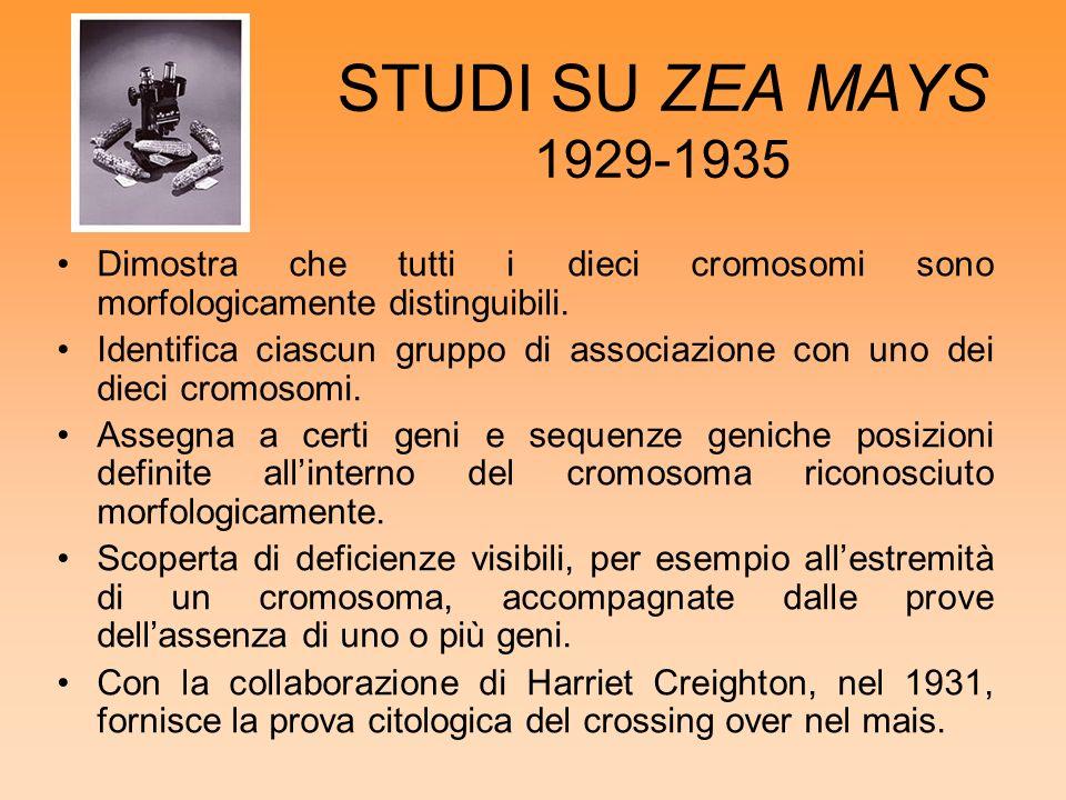 STUDI SU ZEA MAYS 1929-1935 Dimostra che tutti i dieci cromosomi sono morfologicamente distinguibili. Identifica ciascun gruppo di associazione con un