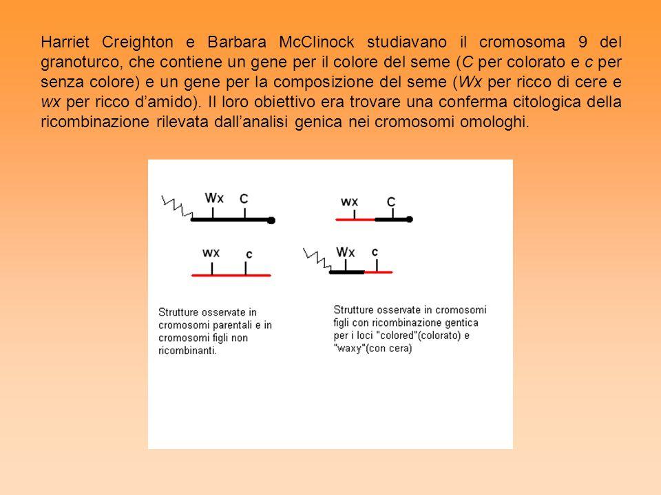Harriet Creighton e Barbara McClinock studiavano il cromosoma 9 del granoturco, che contiene un gene per il colore del seme (C per colorato e c per se
