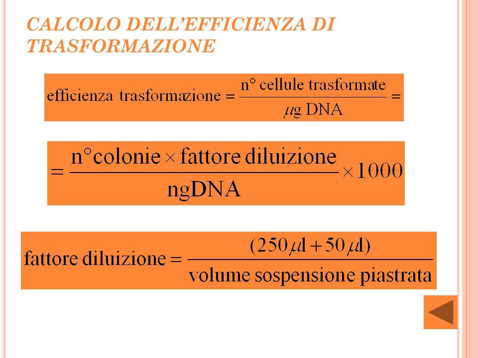 RISULTATI TRASFORMAZIONE BATTERICA 5 B Liceo Numero colonie trasformate in LB + Amp (5 µL) Numero colonie trasformate in LB + Amp (50 µL) Numero colonie LB (controllo positivo) Numero colonie LB + Amp (controllo negativo) Efficienza riferita a: cellule trasformate in LB + Amp (5 µL) Gruppo 100presenza di colonieassenza di colonie0 Gruppo 200presenza di colonieassenza di colonie0 Gruppo 3970non contabilepresenza di colonieassenza di colonie1.2·10 6 Gruppo 400presenza di colonieassenza di colonie0 Gruppo 5674non contabilepresenza di colonieassenza di colonie8.1·10 5 Gruppo 6273non contabilepresenza di colonieassenza di colonie3,3·10 5 Gruppo 73000non contabilepresenza di colonieassenza di colonie3,6·10 6 Gruppo 8628non contabilepresenza di colonieassenza di colonie7.5·10 5 5 B LICEO