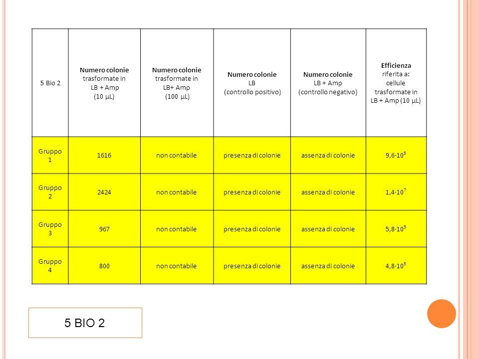 5 Bio 3 Numero colonie trasformate in LB + Amp (5µL) Numero colonie LB + Amp (controllo negativo) Efficienza riferita a: cellule trasformate in LB+ Amp Gruppo 1 238 prova non valida per contaminazione 2,9·10 5 Gruppo 2 925prova non effettuata 1,1·10 6 Gruppo 3 1200prova non effettuata 1,4·10 6 Gruppo 4 1350prova non effettuata 1,6·10 6 Gruppo 5 1424prova non effettuata 1,7·10 6 Gruppo 6 1125assenza di colonie 1,4·10 6 Gruppo 7 1224prova non effettuata 1,5·10 6 5 BIO 3