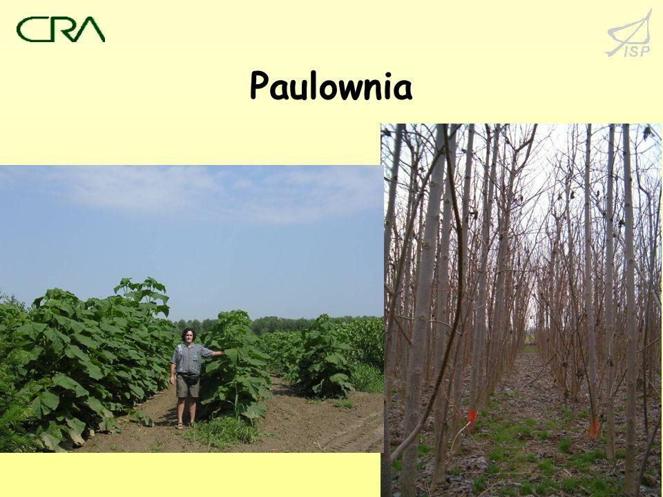 19 Paulownia