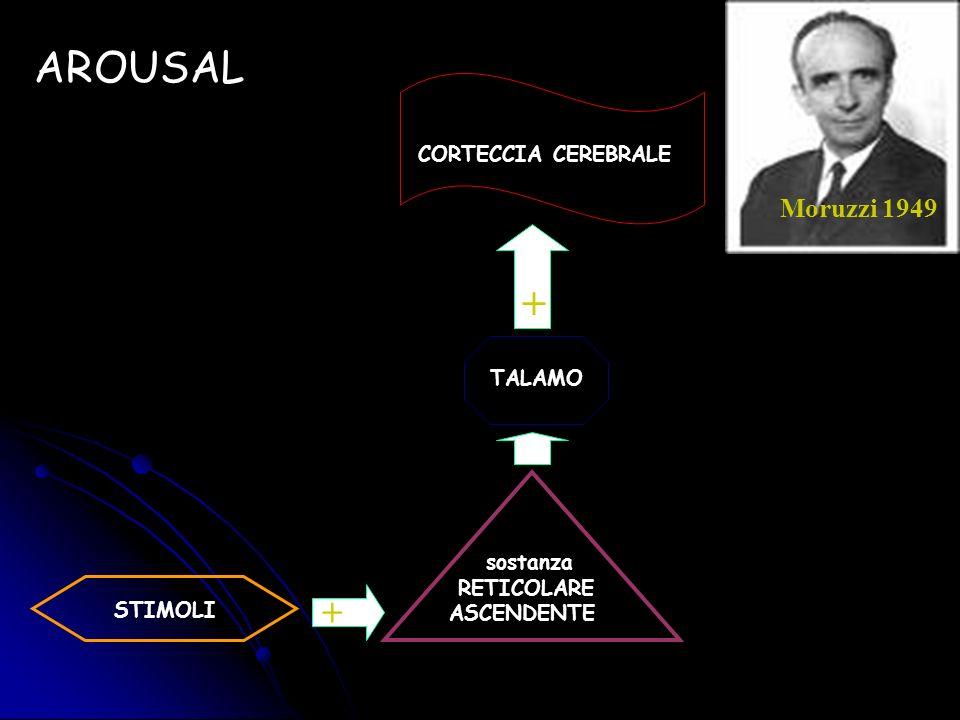 STIMOLI sostanza RETICOLARE ASCENDENTE TALAMO CORTECCIA CEREBRALE AROUSAL + + Moruzzi 1949