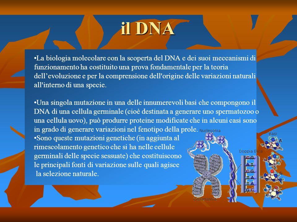 il DNA La biologia molecolare con la scoperta del DNA e dei suoi meccanismi di funzionamento ha costituito una prova fondamentale per la teoria dellev