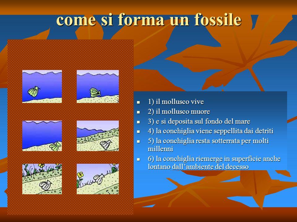 come si forma un fossile 1) il mollusco vive 1) il mollusco vive 2) il mollusco muore 2) il mollusco muore 3) e si deposita sul fondo del mare 3) e si