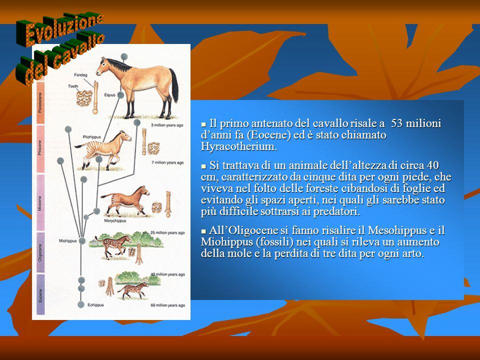 Il primo antenato del cavallo risale a 53 milioni danni fa (Eocene) ed è stato chiamato Hyracotherium. Il primo antenato del cavallo risale a 53 milio