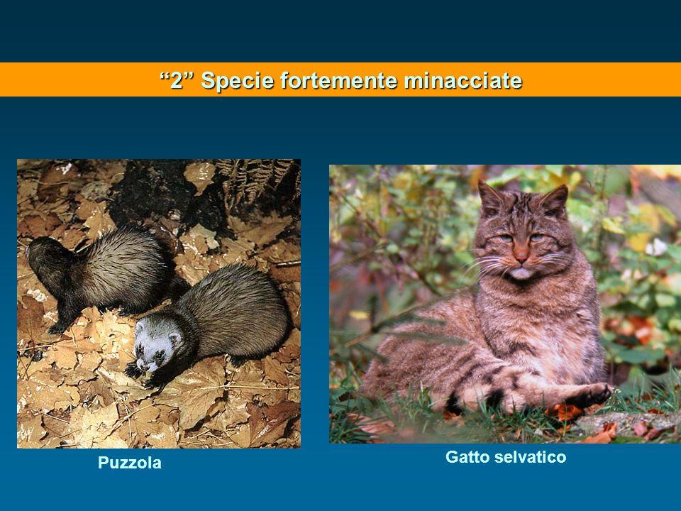 2 Specie fortemente minacciate Gatto selvatico Puzzola