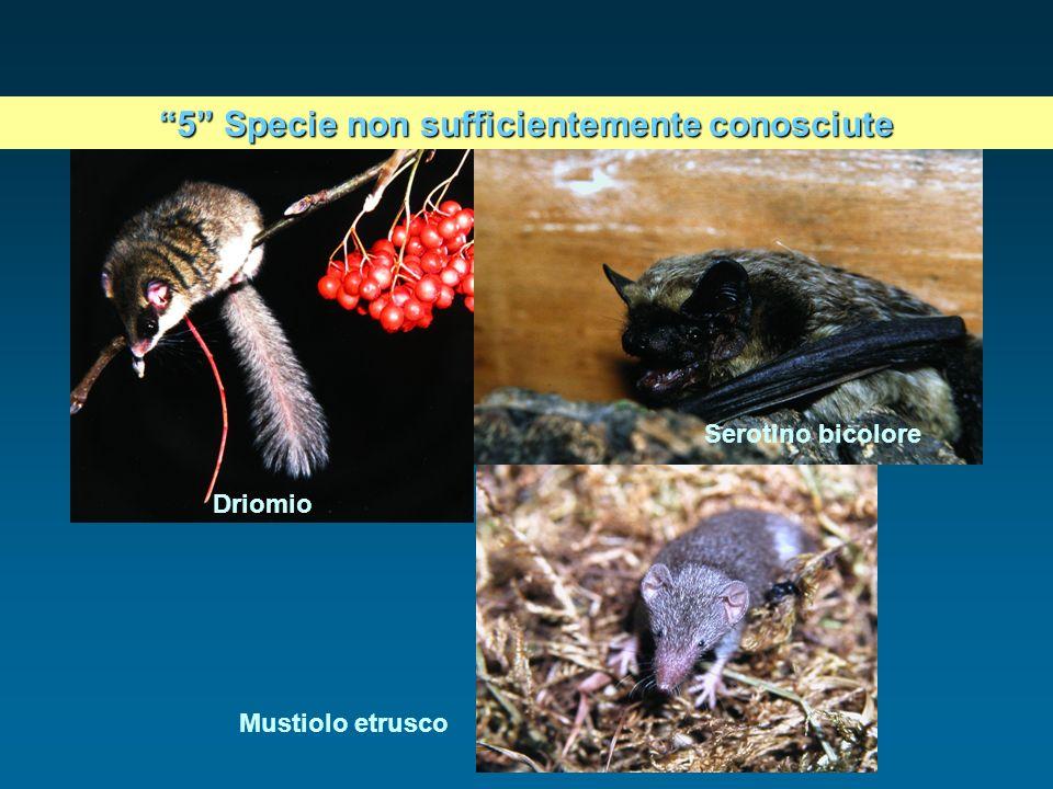 Driomio Serotino bicolore Mustiolo etrusco