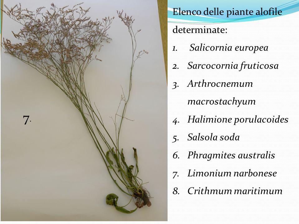 Elenco delle piante alofile determinate: 1. Salicornia europea 2.Sarcocornia fruticosa 3.Arthrocnemum macrostachyum 4.Halimione porulacoides 5.Salsola