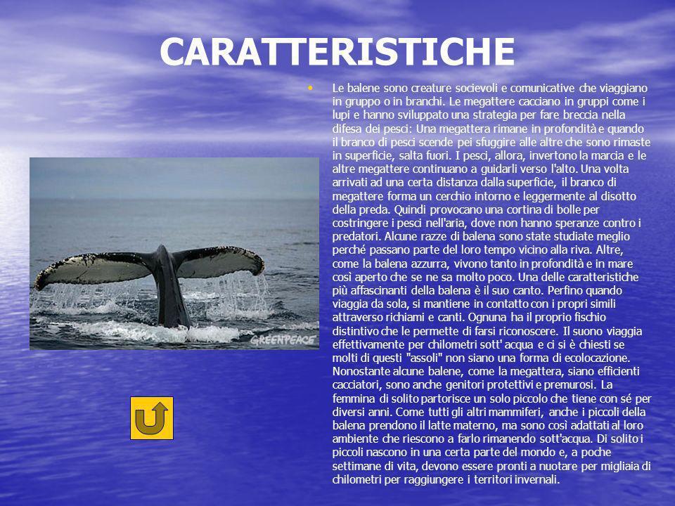 CARATTERISTICHE Le balene sono creature socievoli e comunicative che viaggiano in gruppo o in branchi.