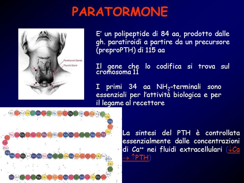 PARATORMONE E un polipeptide di 84 aa, prodotto dalle gh. paratiroidi a partire da un precursore (preproPTH) di 115 aa Il gene che lo codifica si trov