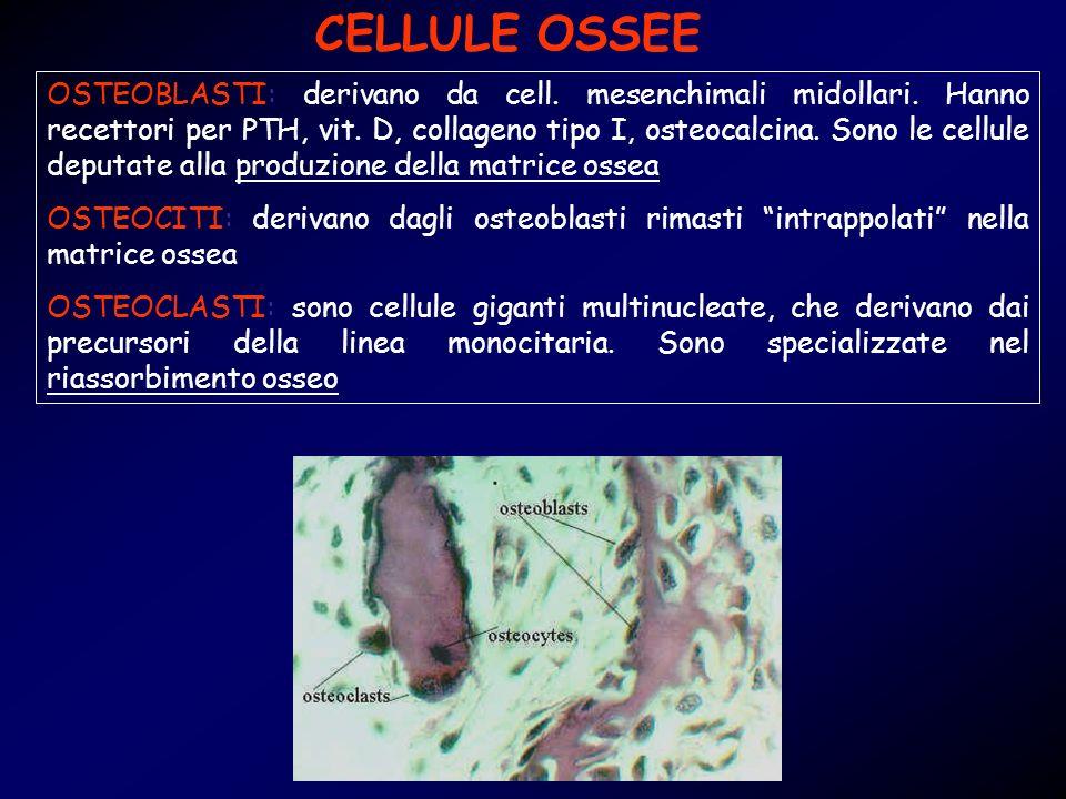 CELLULE OSSEE OSTEOBLASTI: derivano da cell. mesenchimali midollari. Hanno recettori per PTH, vit. D, collageno tipo I, osteocalcina. Sono le cellule