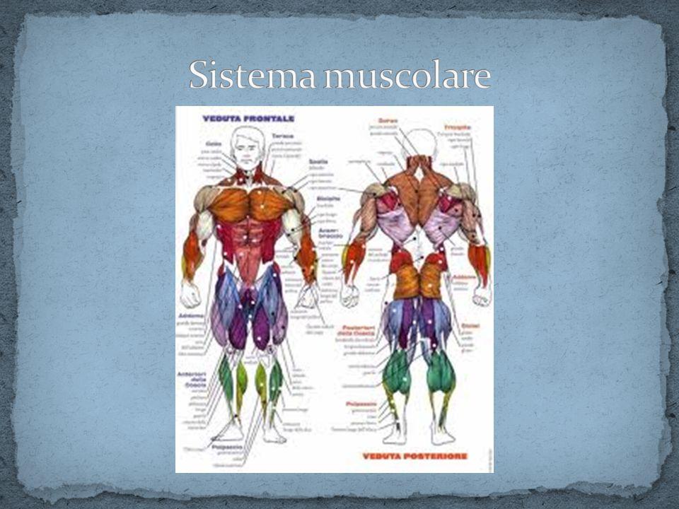 Gli elementi caratterizzanti la cellula muscolare e fondamentali per la contrazione sono: le miofibrille, la cui unità funzionale è il sarcomero, e il reticolo sarcoplasmatico