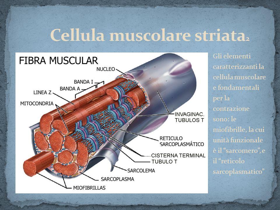 Gli elementi caratterizzanti la cellula muscolare e fondamentali per la contrazione sono: le miofibrille, la cui unità funzionale è il sarcomero, e il