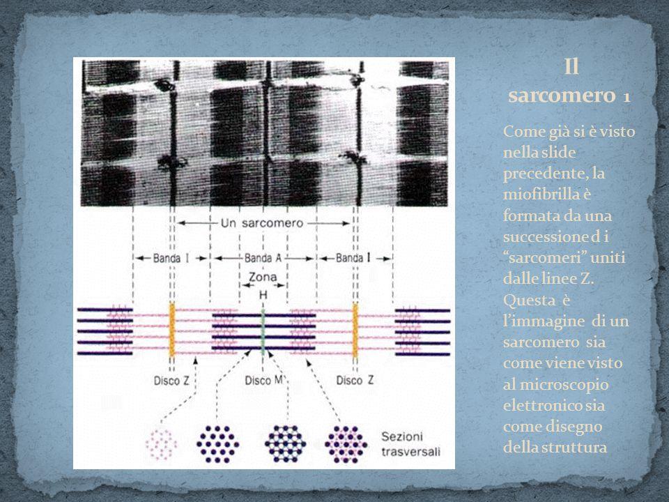 Come già si è visto nella slide precedente, la miofibrilla è formata da una successione d i sarcomeri uniti dalle linee Z. Questa è limmagine di un sa