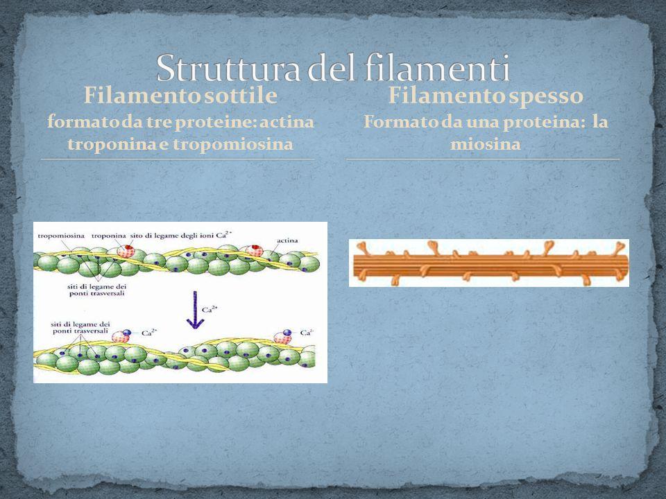 Filamento sottile formato da tre proteine: actina troponina e tropomiosina Filamento spesso Formato da una proteina: la miosina