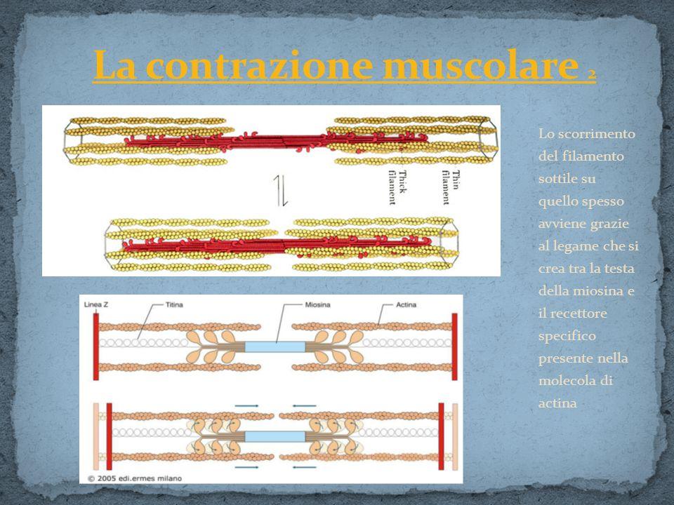 Lo scorrimento del filamento sottile su quello spesso avviene grazie al legame che si crea tra la testa della miosina e il recettore specifico present