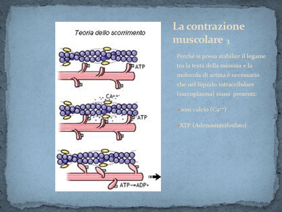 Perché si possa stabilire il legame tra la testa della miosina e la molecola di actina è necessario che nel liquido intracellulare (sarcoplasma) siano