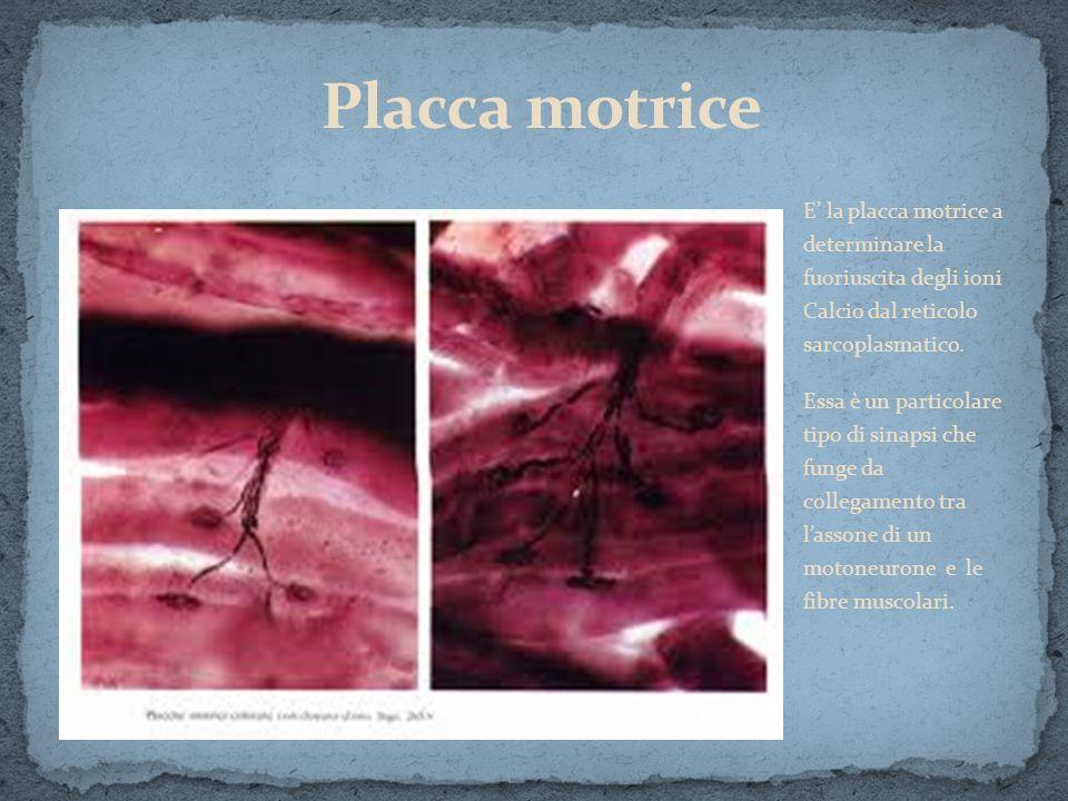 E la placca motrice a determinare la fuoriuscita degli ioni Calcio dal reticolo sarcoplasmatico. Essa è un particolare tipo di sinapsi che funge da co