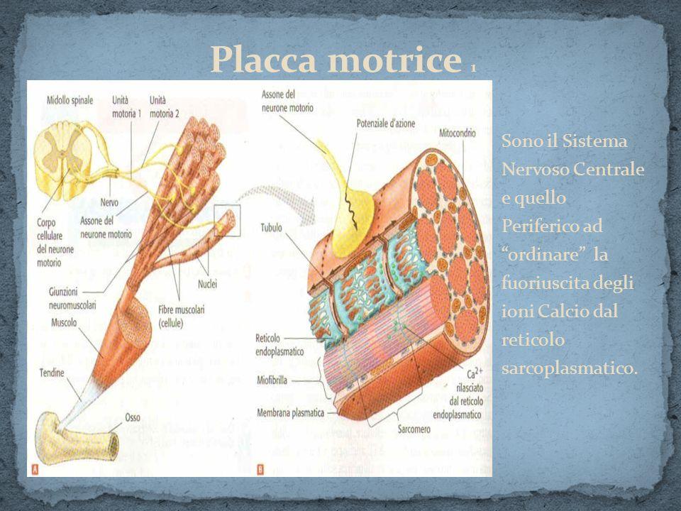 Sono il Sistema Nervoso Centrale e quello Periferico ad ordinare la fuoriuscita degli ioni Calcio dal reticolo sarcoplasmatico.