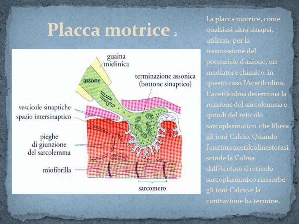 La placca motrice, come qualsiasi altra sinapsi, utilizza, per la trasmissione del potenziale dazione, un mediatore chimico, in questo caso lAcetilcol