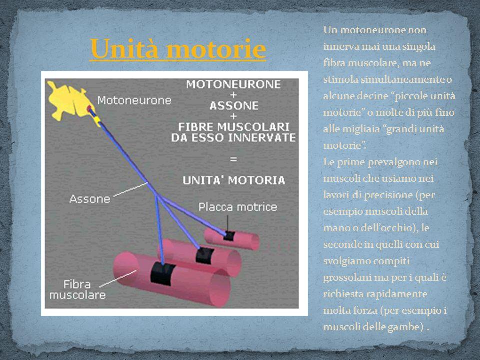 Un motoneurone non innerva mai una singola fibra muscolare, ma ne stimola simultaneamente o alcune decine piccole unità motorie o molte di più fino al