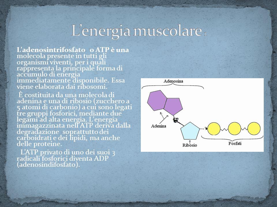 L'adenosintrifosfato o ATP è una molecola presente in tutti gli organismi viventi, per i quali rappresenta la principale forma di accumulo di energia