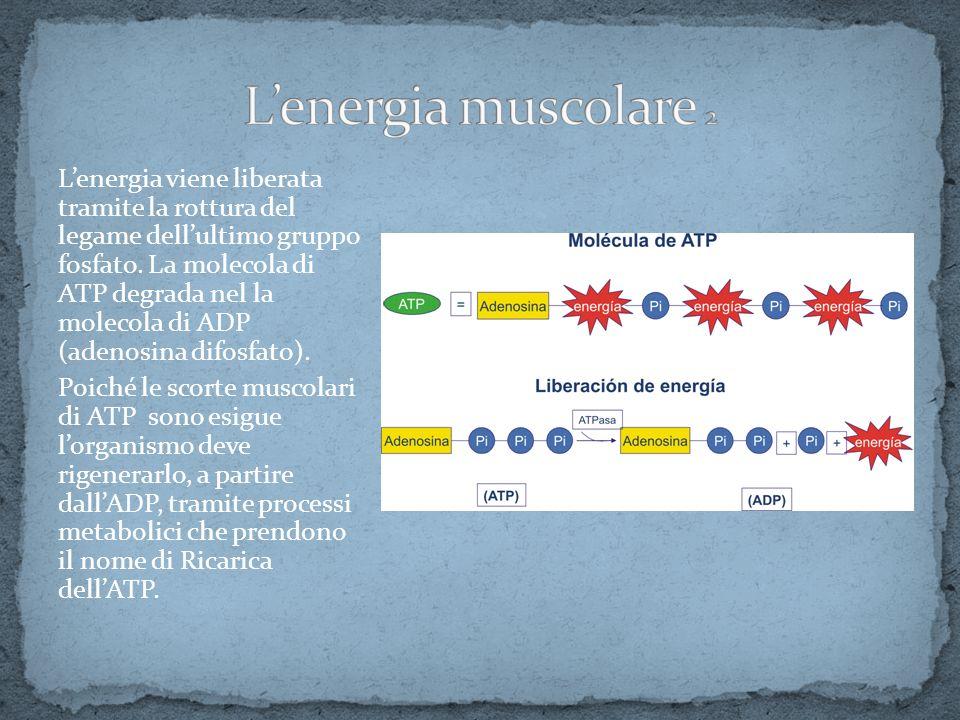 Lenergia viene liberata tramite la rottura del legame dellultimo gruppo fosfato. La molecola di ATP degrada nel la molecola di ADP (adenosina difosfat