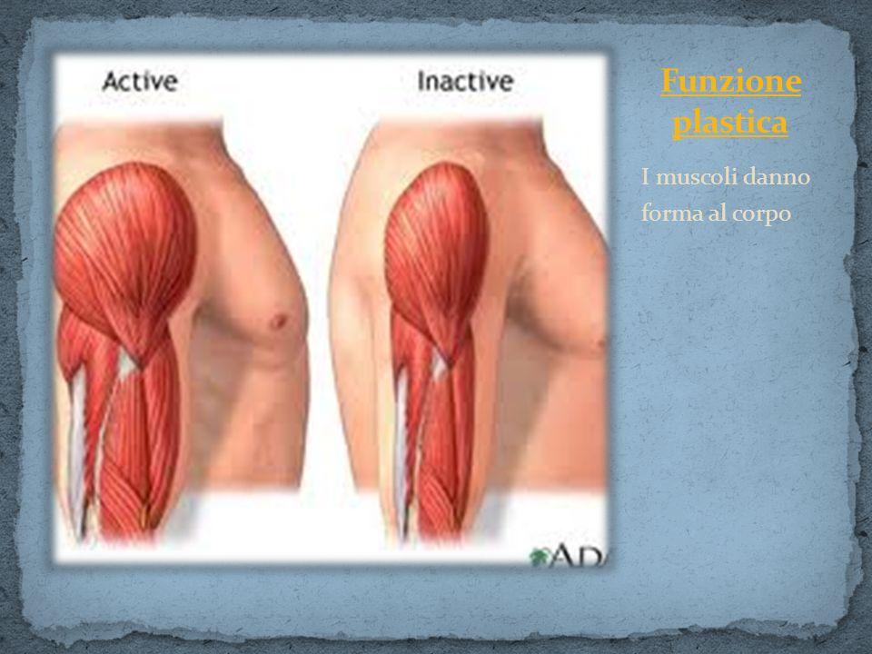 I muscoli danno forma al corpo