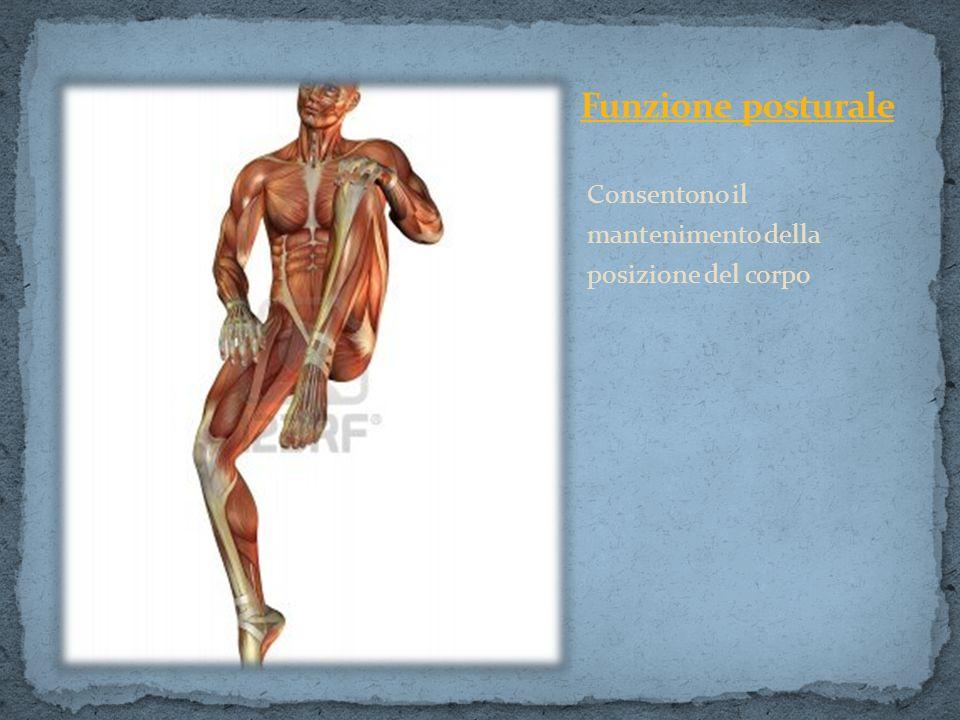 Consentono il mantenimento della posizione del corpo