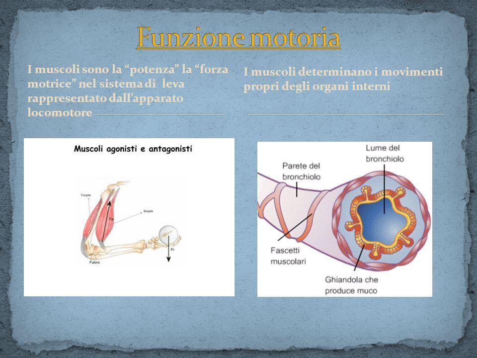 I muscoli sono la potenza la forza motrice nel sistema di leva rappresentato dallapparato locomotore I muscoli determinano i movimenti propri degli or