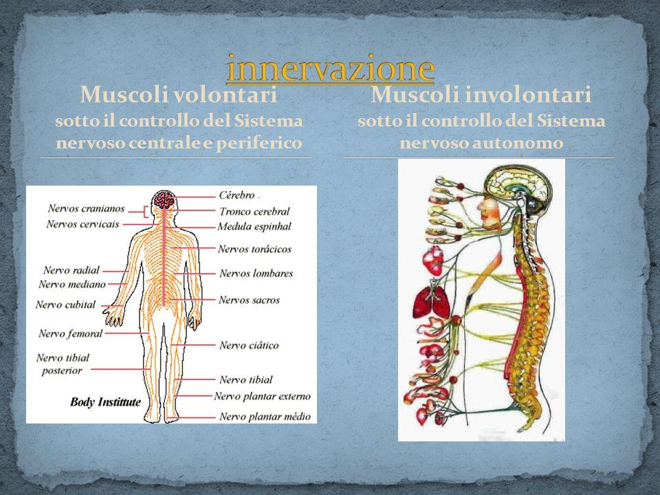 Muscoli volontari sotto il controllo del Sistema nervoso centrale e periferico Muscoli involontari sotto il controllo del Sistema nervoso autonomo