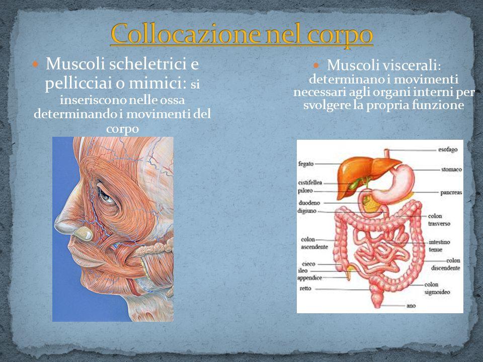 Muscoli scheletrici e pellicciai o mimici: si inseriscono nelle ossa determinando i movimenti del corpo Muscoli viscerali : determinano i movimenti ne