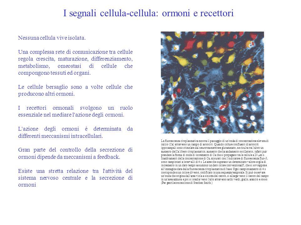 Nessuna cellula vive isolata. Una complessa rete di comunicazione tra cellule regola crescita, maturazione, differenziamento, metabolismo, omeostasi d