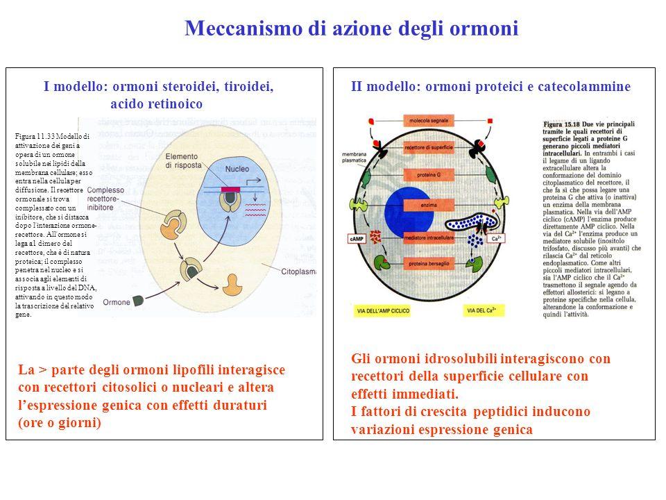 II modello: ormoni proteici e catecolammine Meccanismo di azione degli ormoni I modello: ormoni steroidei, tiroidei, acido retinoico La > parte degli