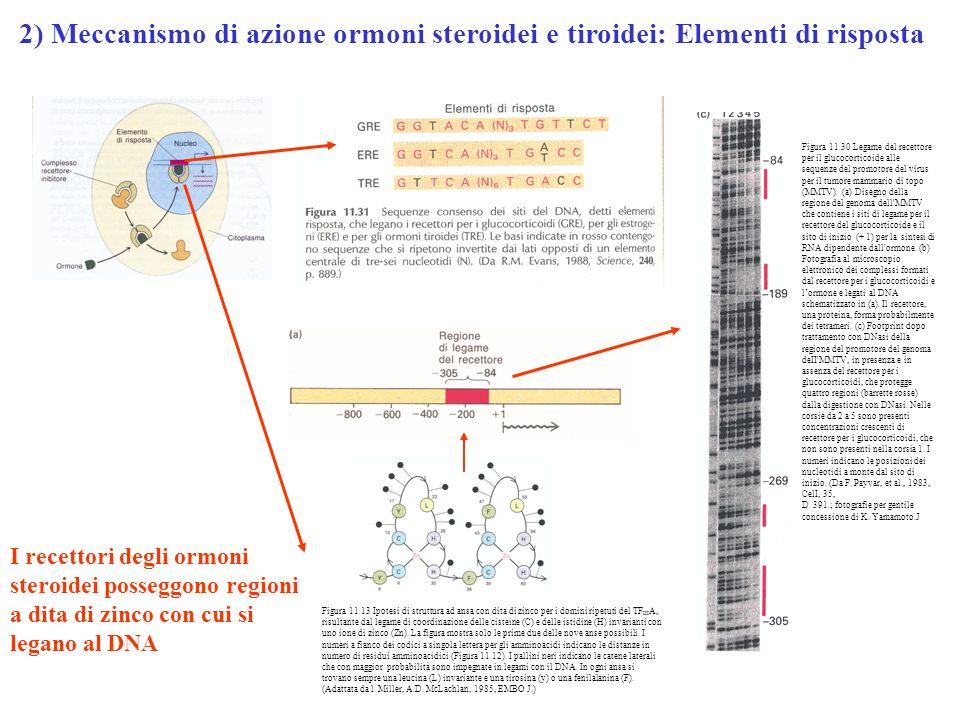 Figura 11.30 Legame del recettore per il glucocorticoide alle sequenze del promotore del virus per il tumore mammario di topo (MMTV). (a) Disegno dell