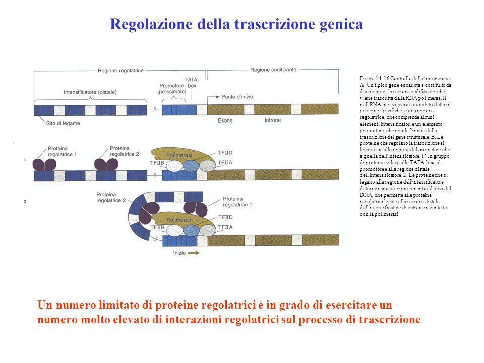 Figura 14-16 Controllo della trascrizione. A. Un tipico gene eucariota è costituito da due regioni, la regione codifìcante, che viene trascritta dalla
