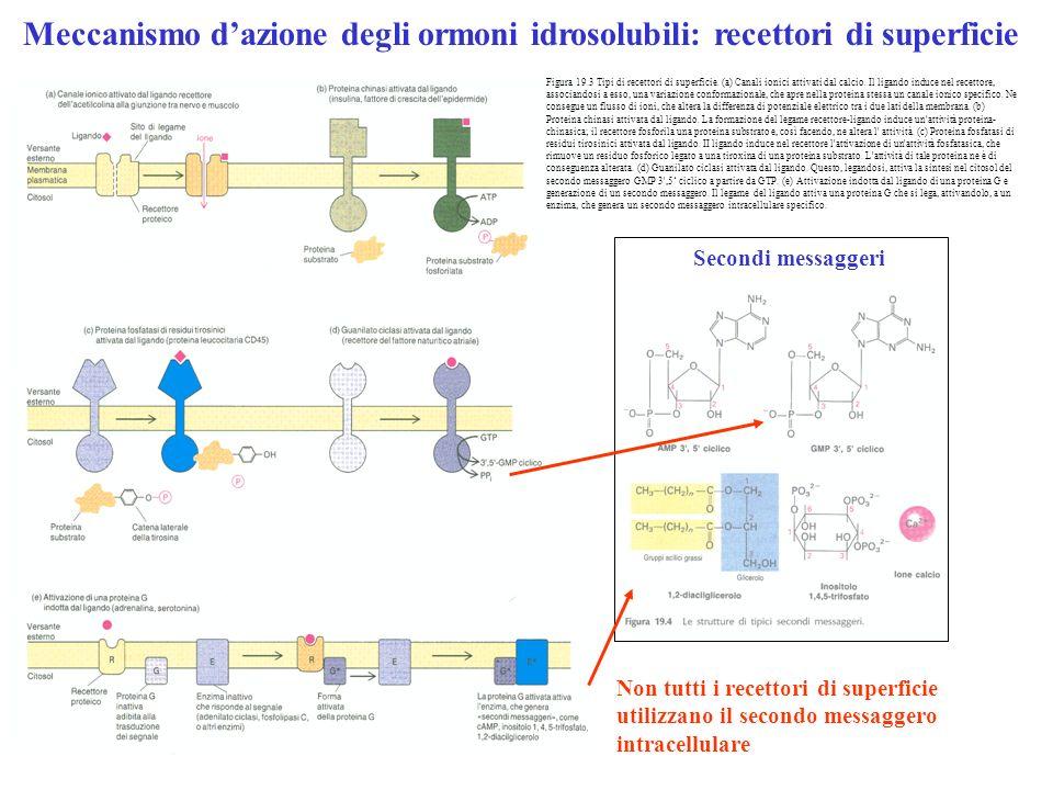 Meccanismo dazione degli ormoni idrosolubili: recettori di superficie Non tutti i recettori di superficie utilizzano il secondo messaggero intracellul
