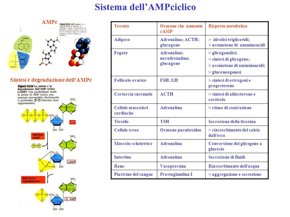 Sistema dellAMPciclico ; AMPc Sintesi e degradazione dellAMPc TessutoOrmone che aumenta cAMP Risposta metabolica AdiposoAdrenalina; ACTH; glucagone >