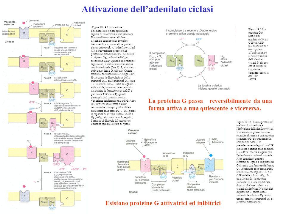 . Figura 19.14 L'attivazione dell'adenilato ciclasi operata dal legame di un ormone al suo recettore. Il tratto di membrana cellulare disegnato contie