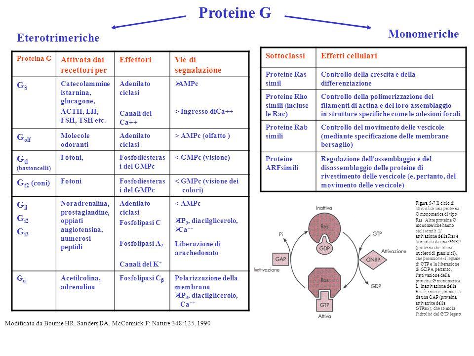 Proteine G Proteina G Attivata dai recettori per EffettoriVie di segnalazione GSGS Catecolammine istarnina, glucagone, ACTH, LH, FSH, TSH etc. Adenila