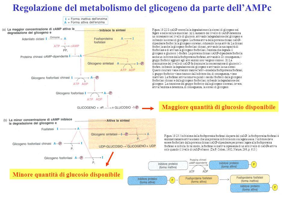 Regolazione del metabolismo del glicogeno da parte dellAMPc Figura 19.23 l'inibizione della fosfoproteina fosfatasi da parte del cAMP. la fosfoprotein