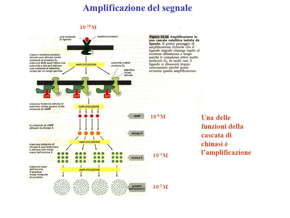 Amplificazione del segnale Una delle funzioni della cascata di chinasi è lamplificazione 10 -10 M 10 -6 M 10 -4 M 10 -2 M