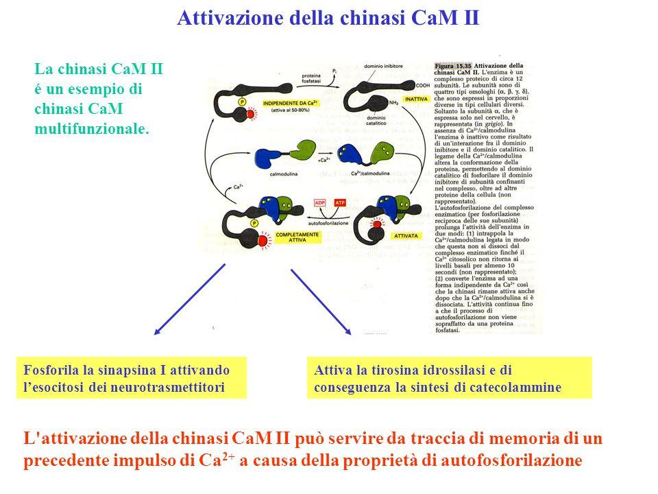 Attivazione della chinasi CaM II L'attivazione della chinasi CaM II può servire da traccia di memoria di un precedente impulso di Ca 2+ a causa della