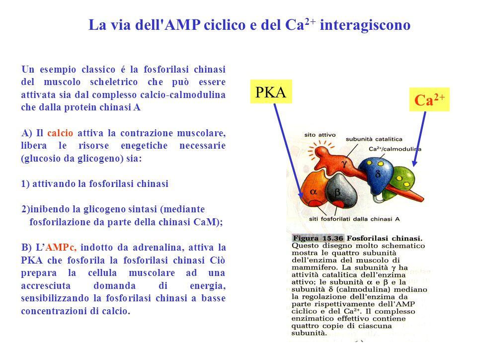 Un esempio classico é la fosforilasi chinasi del muscolo scheletrico che può essere attivata sia dal complesso calcio-calmodulina che dalla protein ch