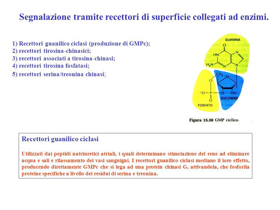 Recettori guanilico ciclasi Utilizzati dai peptidi natriuretici atriali, i quali determinano stimolazione del rene ad eliminare acqua e sali e rilassa