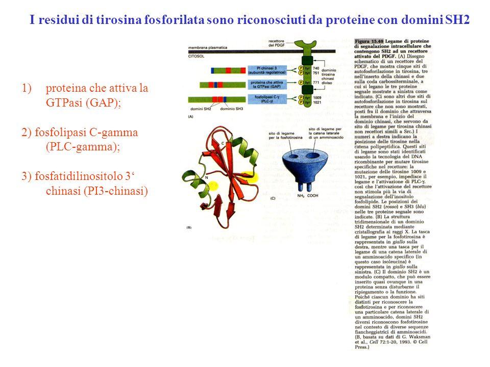 1)proteina che attiva la GTPasi (GAP); 2) fosfolipasi C-gamma (PLC-gamma); 3) fosfatidilinositolo 3 chinasi (PI3-chinasi) I residui di tirosina fosfor