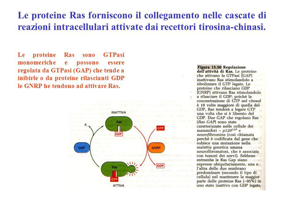 Le proteine Ras forniscono il collegamento nelle cascate di reazioni intracellulari attivate dai recettori tirosina-chinasi. Le proteine Ras sono GTPa
