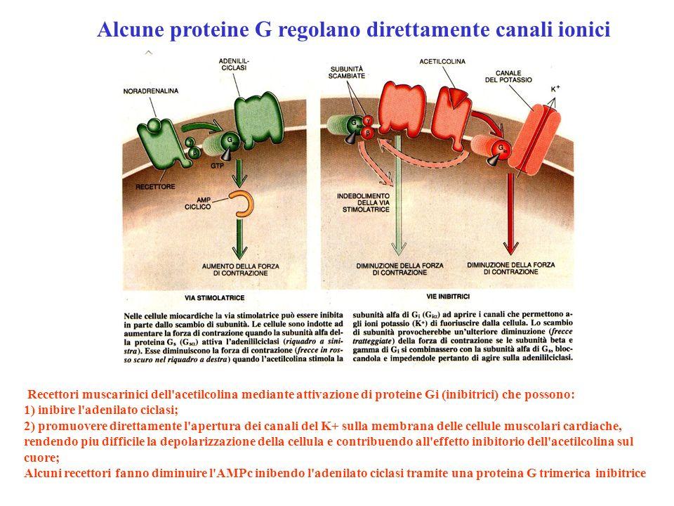 Recettori muscarinici dell'acetilcolina mediante attivazione di proteine Gi (inibitrici) che possono: 1) inibire l'adenilato ciclasi; 2) promuovere di