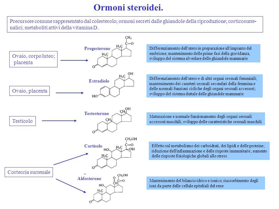 Progesterone Estradiolo Testosterone Cortisolo Ovaio, corpo luteo; placenta Ovaio, placenta Testicolo Corteccia surrenale Differenziamento dell'utero